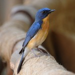 Blue Flycatcher State Bird of MP , India