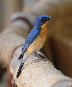 500px-Tickell's_Blue_Flycatcher_(Cyornis_tickelliae)