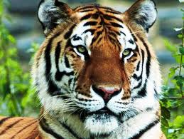 Royal Bengal Tiger-National Animal of India