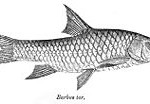 MP-State-Fish-Mahseer