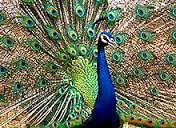 peacock-National Bird of India1