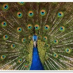 peacock-National Bird of India2