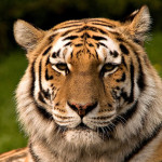 Tiger 1024px