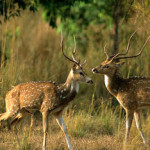 Bandhavgarh fauna deers