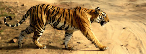 Tigress_in_Bandhavgarh_national park
